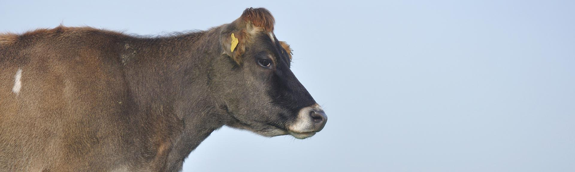Banner_brown cow