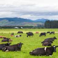 Grazing Cows In Paddock